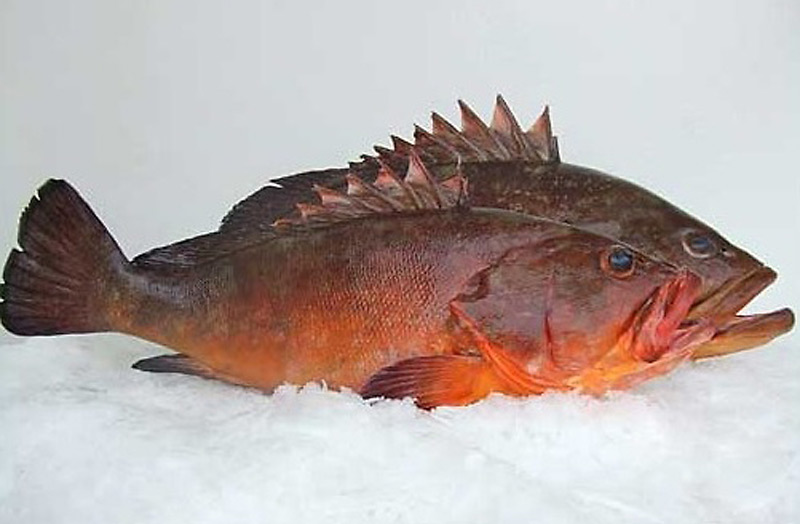 Exotic fish: the Grouper