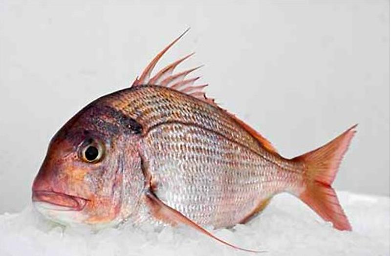 Exotic fish : the Seabream