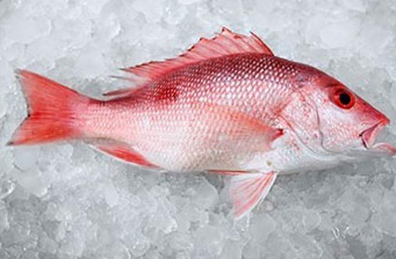Exotic fish: the Snapper